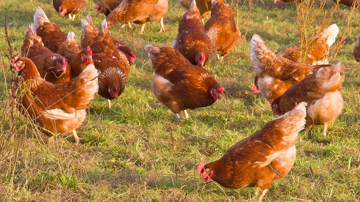 Allevamento polli a terra